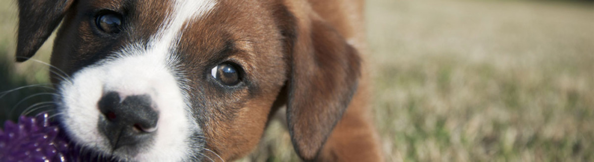 buy dogs in Racine, WI buy puppies and pet supplies in Racine, WI