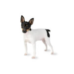 Petland Dayton Toy Fox Terrier