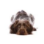 Petland Dayton German Wirehaired Pointer