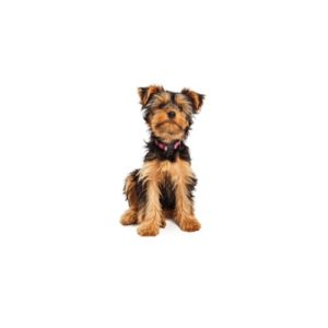 Yorkshire Terrier Puppies - Petland Dayton
